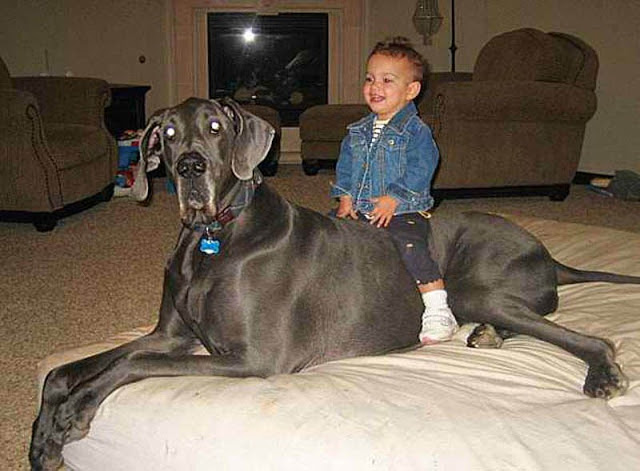 'Giant George', el perro más grande del mundo (5)