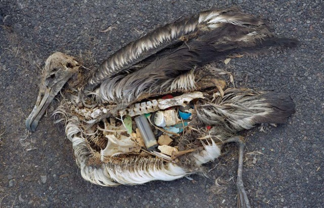pacific_ocean_garbage_patch_pollution_plastic_albatross_chick_q