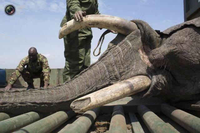 moviendo-elefantes-10