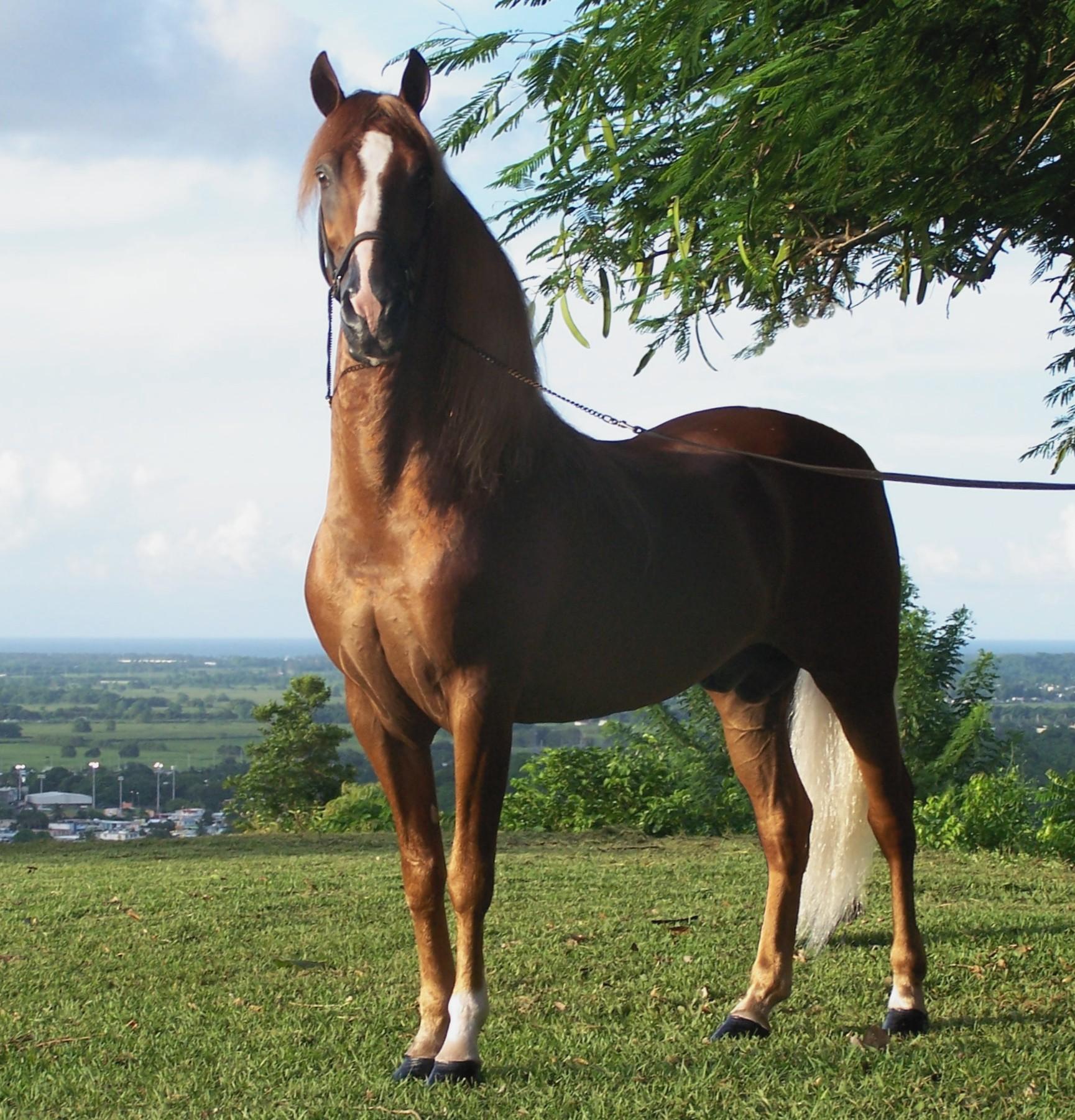 Puerto_rican-Paso-Fino-Horse-chestnut