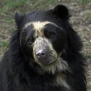 oso anteojo