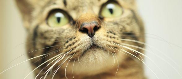 por-que-tienen-bigote-los-gatos-588x257