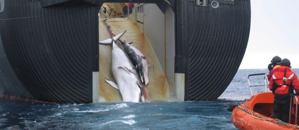 prohiben-a-japon-cazar-ballenas-588x257