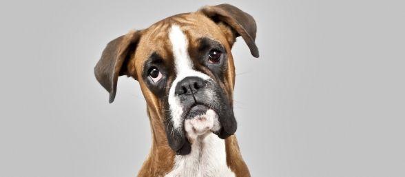razas-de-perros-agresivos-588x257