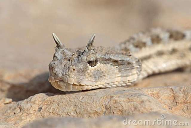 retrato-de-la-serpiente-víbora-de-cuernos-11037756