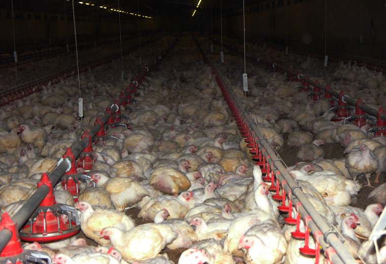 Chicken-farming
